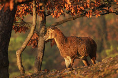 Mouflon sheep. In orange forest near Prague Stock Photo