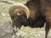 Mouflon and stone Stock Images