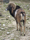 Mouflon in stony ambiance Stock Photos