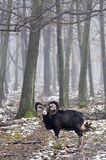 Mouflon with trees Stock Photography