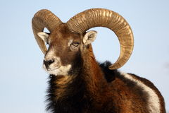 Mouflon trophy Royalty Free Stock Photography