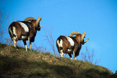 Mouflon twins Stock Photo