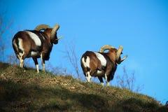 Mouflon twins stock photo