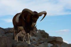 Mouflon wild goat. The mouflon wild goat is walking on the rock on blue sky background Stock Photo