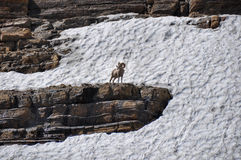 Mouflon, WIldlife as seen in Glacier National Park, Montana, USA Royalty Free Stock Images