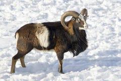 Mouflon winter. A big male mouflon surrounded by snow Stock Photo