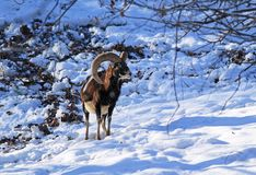 Mouflon in winter. Male mouflon with big horns standing in the snow stock image