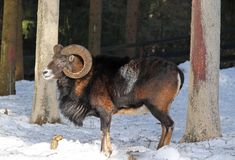 Mouflon in winter. Old male mouflon with big horns standing in the wood in winter royalty free stock photography