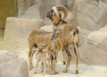 Mouflonfamilie Royalty-vrije Stock Foto's