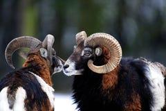 2 mouflons в зиме Стоковые Фотографии RF