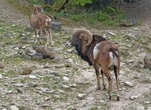 Mouflons на каменистой земле Стоковая Фотография RF