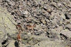 Mouflons, овца и овечка в Пиренеи Стоковое Фото