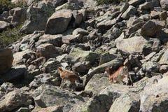 Mouflons, овца и овечка в Пиренеи Стоковое Изображение RF
