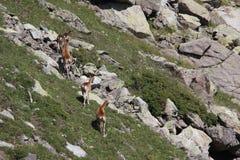 Mouflons, овца и овечка в Пиренеи Стоковая Фотография RF