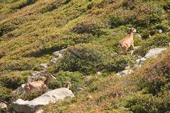 Mouflons, овца и овечка в Пиренеи Стоковые Изображения