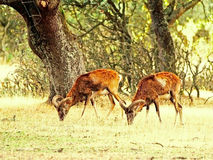 2 mouflons пася на испанском лесе Стоковое фото RF
