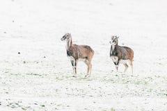 2 mouflons стоя в снежном луге Стоковые Фото