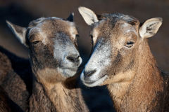 Mouflons Royalty Free Stock Photo