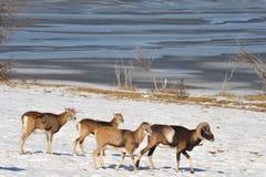 mouflons Стоковое Изображение