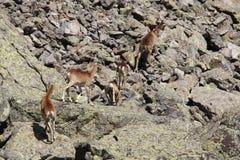 mouflons Стоковые Изображения RF