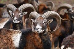 Mouflons Стоковая Фотография RF