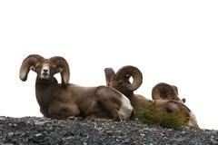 Mouflons Foto de archivo