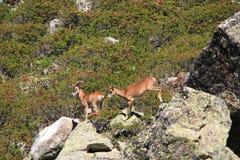 Mouflons Стоковые Фото