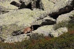 Mouflons Стоковое фото RF