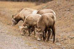 Mouflons d'Amérique Photo stock