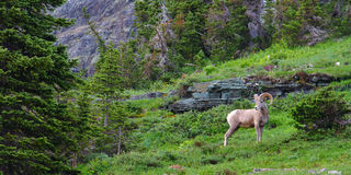 Mouflons d'Amérique (canadensis d'Ovis) Images libres de droits