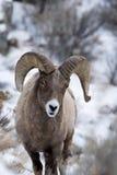 Mouflons d'Amérique dans la neige Photo stock
