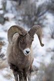 Mouflons d'Amérique dans la neige Images stock