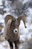 Mouflons d'Amérique dans la neige Photographie stock
