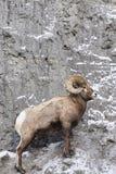 Mouflons d'Amérique de côté de montagne Photos stock