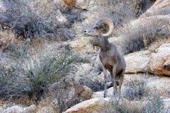 Mouflons d'Amérique de désert Photographie stock libre de droits