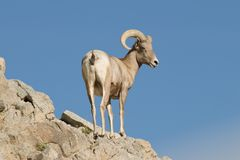 Mouflons d'Amérique de désert Photos stock