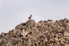 Mouflons d'Amérique de désert Photo stock