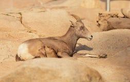 Mouflons d'Amérique de désert, canadensis d'Ovis Photographie stock libre de droits