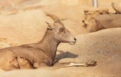Mouflons d'Amérique de désert, canadensis d'Ovis Photographie stock