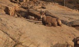 Mouflons d'Amérique de désert, canadensis d'Ovis Photos libres de droits