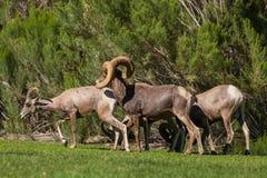 Mouflons d'Amérique de désert dans l'ornière Photo stock