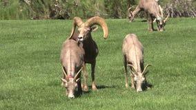 Mouflons d'Amérique de désert dans l'ornière Image stock