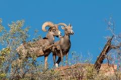 Mouflons d'Amérique de désert dans l'ornière Images libres de droits