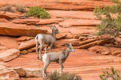 Mouflons d'Amérique de désert dans les roches Images stock