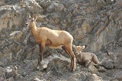 Mouflons d'Amérique de montagne rocheuse - brebis et agneau Photographie stock libre de droits