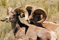 Mouflons d'Amérique du Colorado Photographie stock