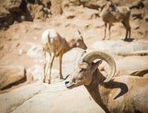 Mouflons d'Amérique entendus parler de désert Photos libres de droits