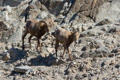 Mouflons d'Amérique - nelsoni de canadensis d'Ovis Photo libre de droits