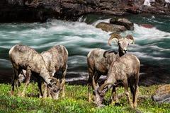 Mouflons d'Amérique, parc national Montana Etats-Unis de glacier Image stock