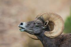 Mouflons d'Amérique Ram Portrait de désert Photo libre de droits